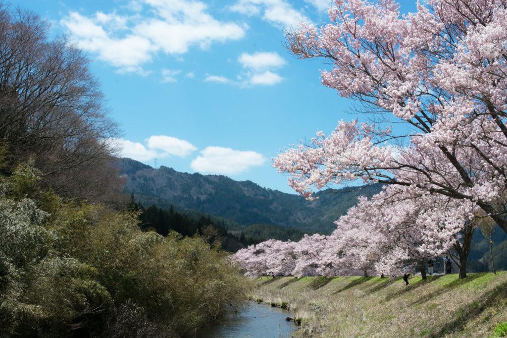 桜と川の風景